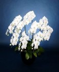 ホワイト胡蝶蘭、10本立ち