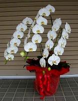 NO.2胡蝶蘭、ホワイト、3本仕立、花数30輪以上