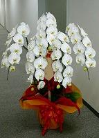 NO.4胡蝶蘭、ホワイト、5本仕立、花数40輪以上