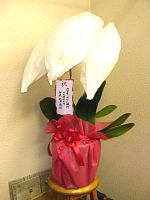 NO.5胡蝶蘭、赤白リップ、3本仕立、花数24輪以上