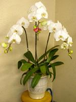 NO.7胡蝶蘭、ホワイト、3本仕立、花数20輪以上
