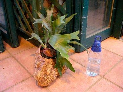 コウモリラン岩鉢
